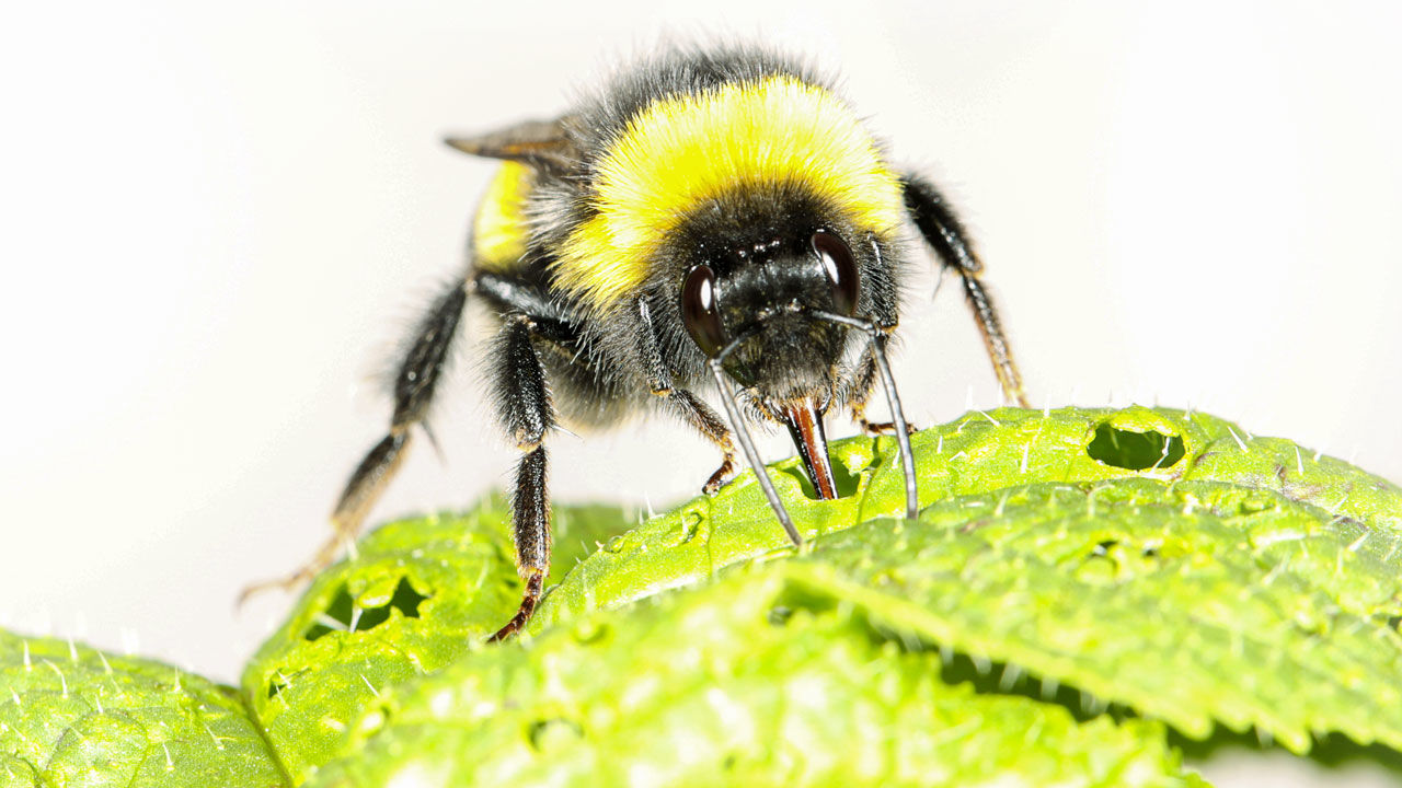 Hungry bumblebees make plants flower early by cutting holes in their leaves