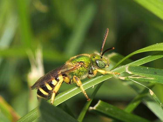 'Bee lawns' great for winged pollinators