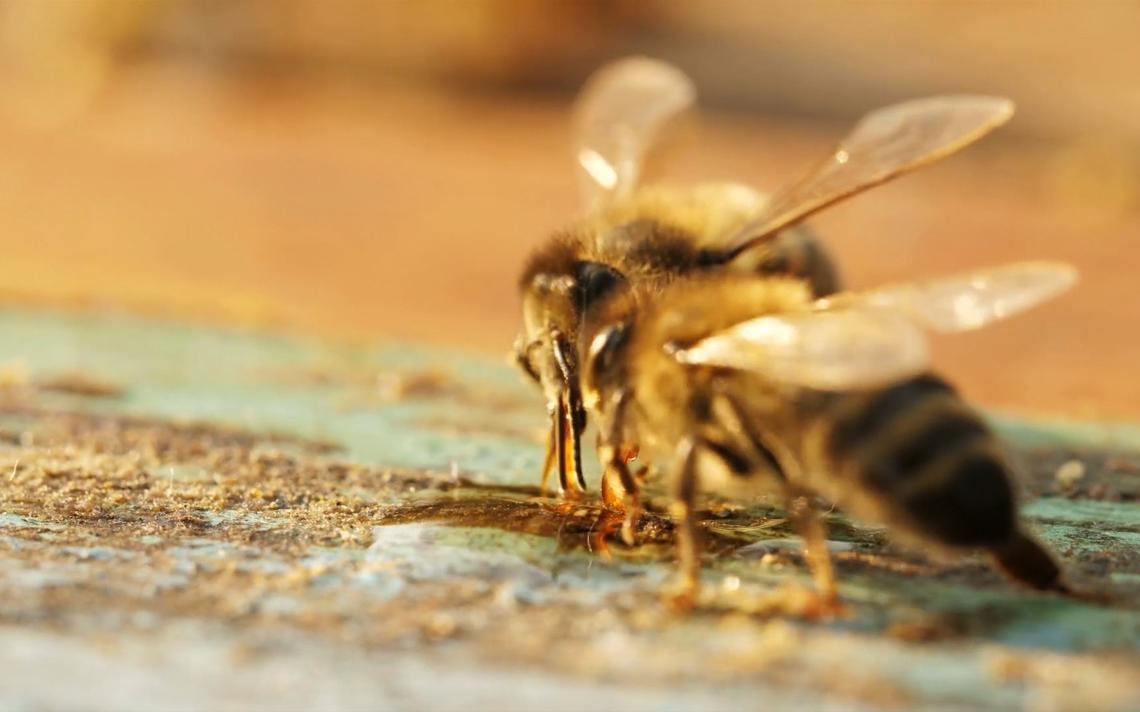 Byron, Minn., approves keeping bees in the city
