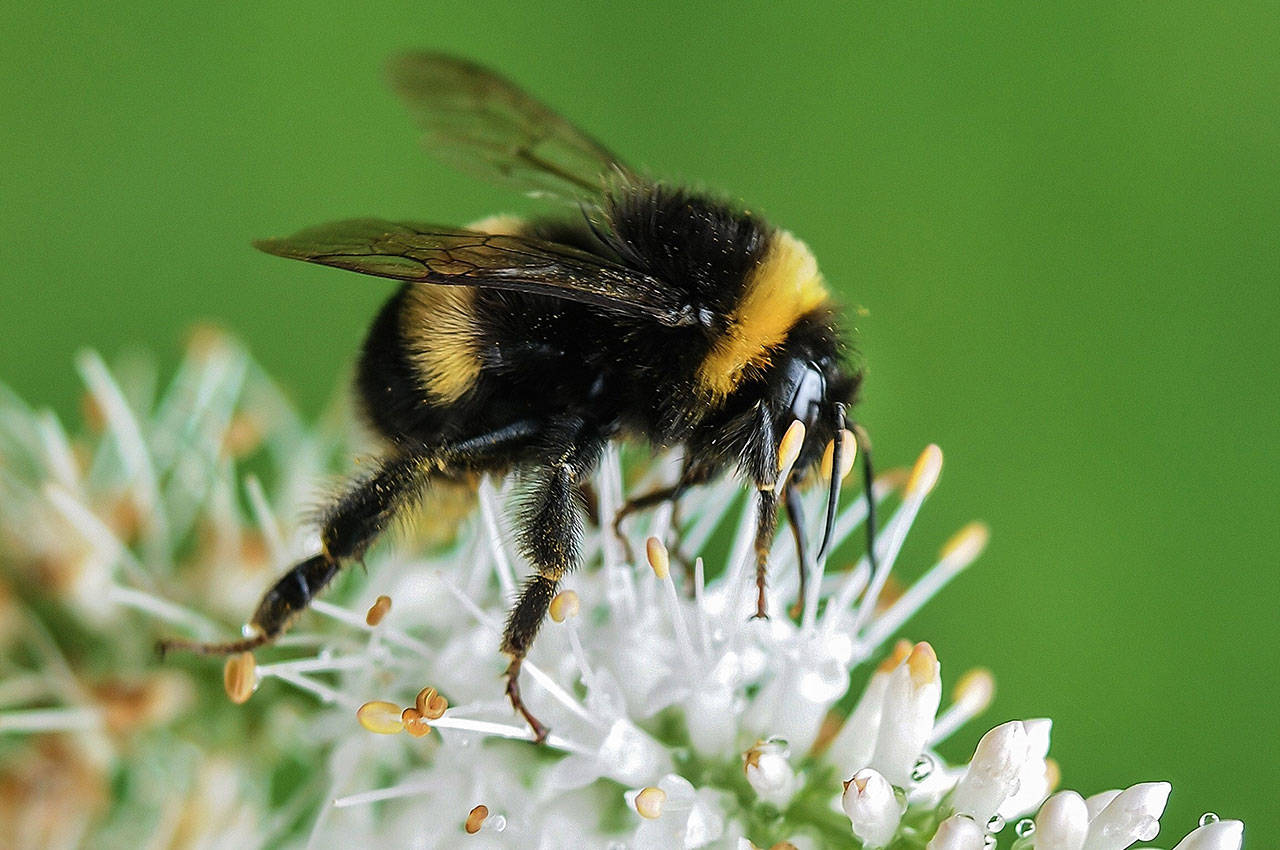 Let's hear it for mason bees: all the benefit, none of the sting
