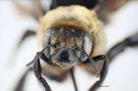 Researchers record first-ever Canadian sighting of bee species in Windsor park