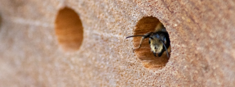 Solitary bees important polinators
