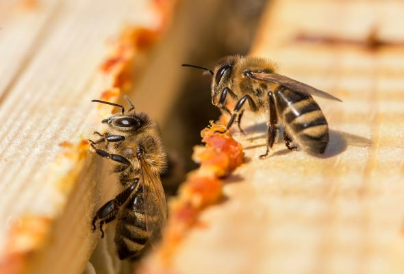 'Bee stops' and 'honey highways' could help bees in urban areas