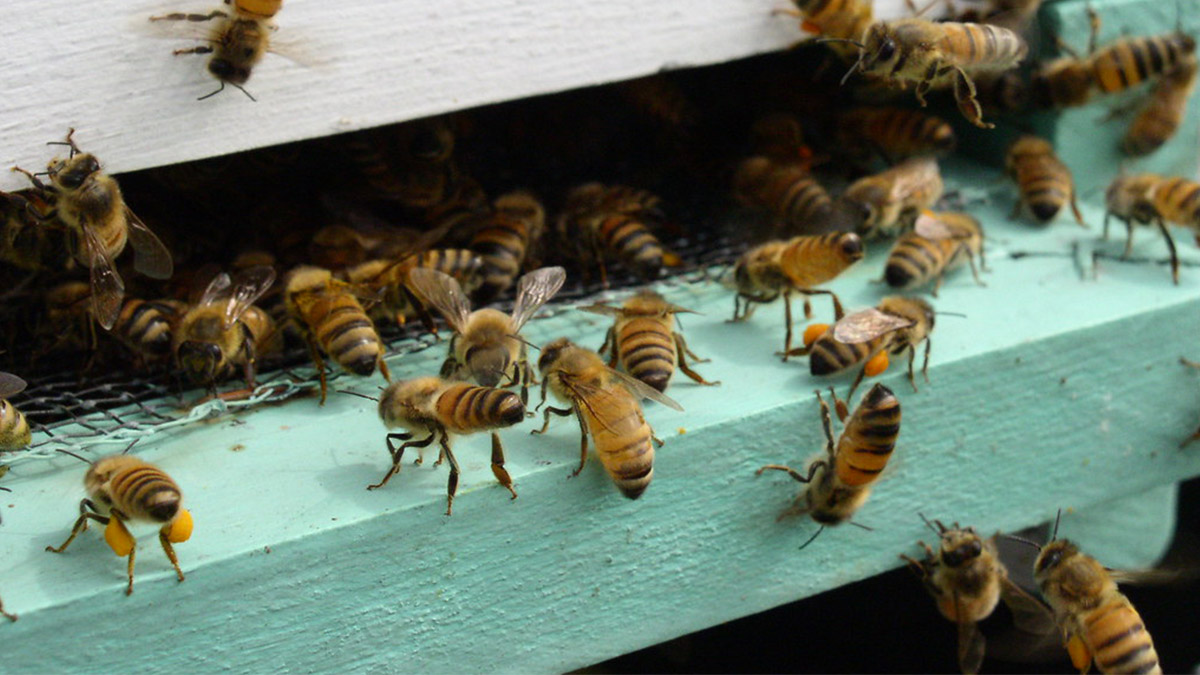 Bees can tell accurate time by temperature cycles inside hives, find researchers