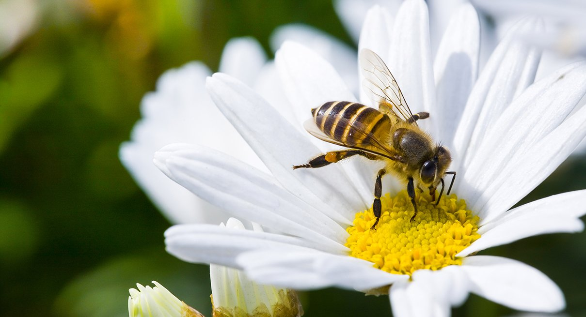 Pesticides Meant for Insects Also Killing Bees—but Antidote in the Works