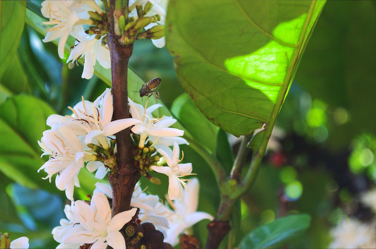 Bees Give Coffee Plants a Bigger Boost than Previously Thought, Colombian Study Finds