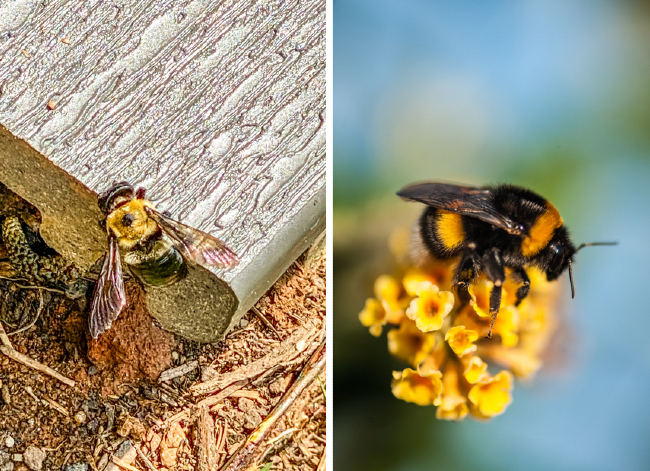 What's the Difference? Carpenter Bee vs. Bumblebee
