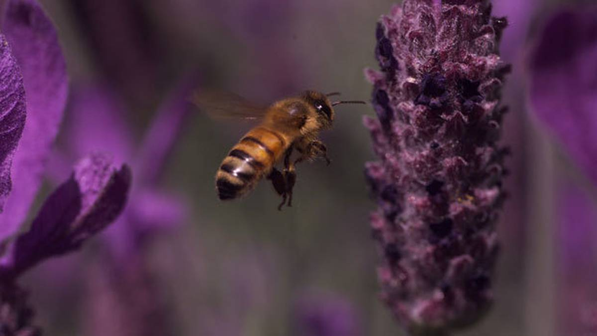 Apiarist hopes tool can eliminate bee-killing disease American Foulbrood