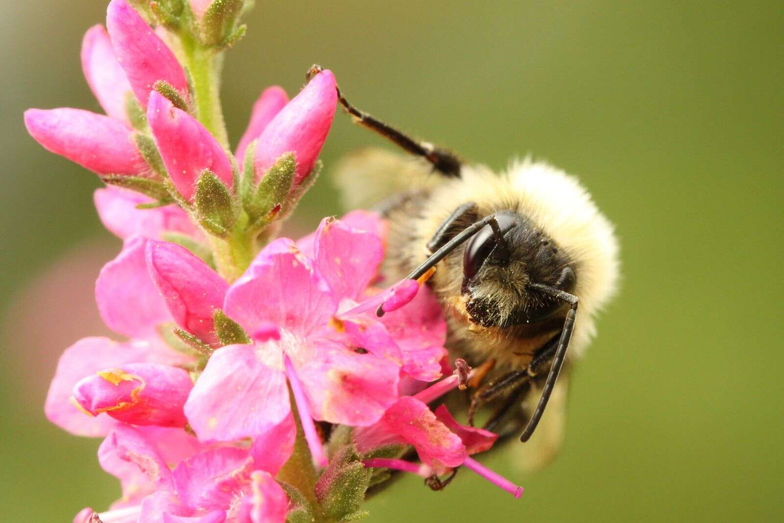 Curious Nature: Bumble bees are not bumbling around evolution